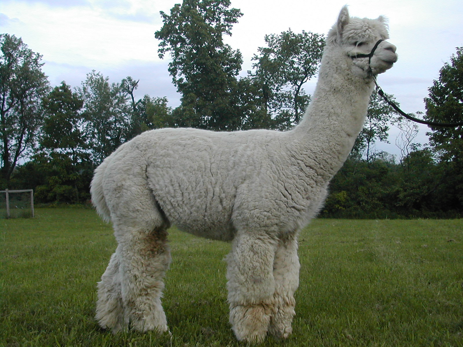 Alpaca Herdsire-Pay The Piper