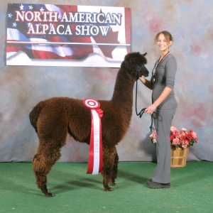 Alpaca at a show winning second place